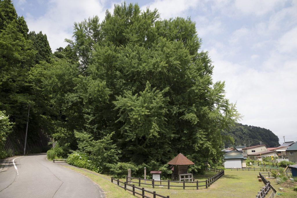 ▲樹齢1000年以上、高さ31m、幹回り22mの日本一大きな銀杏。